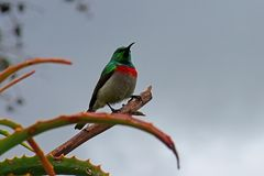 Southern double-collared sunbird, South Africa. Southern double-collared sunbird, Kirstenbosch Botanical Garden nr Cape Town. The southern double-collared royalty free stock photo
