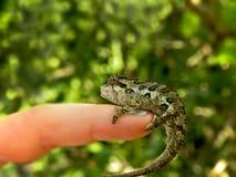 Southern Dwarf Chameleon 2 Stock Photography