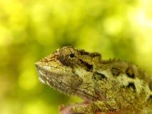 Southern Dwarf Chameleon 3 Stock Photography