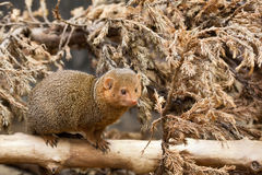 Southern dwarfish mongoose (Helogale parvula) Stock Photo