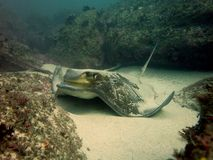 Southern Eagle Ray Stock Image