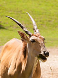 Southern eland with spiral horns on pasture - Taurotragus oryx Stock Photos
