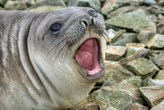 Southern elephant seal. Shouts, Antarctica Royalty Free Stock Image