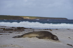 Southern Elephant Seal asleep on the beach. Southern Elephant Seal [Mirounga leonina] sleeping on a sandy beach on Sealion Island in the Falkland Islands Royalty Free Stock Photo