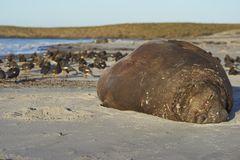 Southern elephant seal on the beach Stock Image