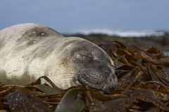 Southern Elephant Seal on a bed of kelp Stock Photos