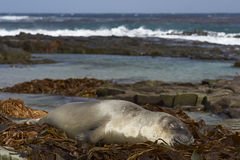 Southern Elephant Seal on a bed of kelp Royalty Free Stock Images