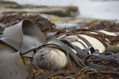 Southern Elephant Seal on a bed of kelp Stock Photo