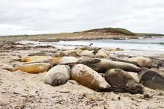 Southern elephant seal colony Royalty Free Stock Photos