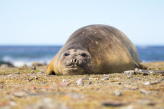Southern Elephant Seal cow Stock Photography