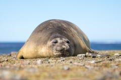 Southern Elephant Seal cow (Mirounga leonina) Royalty Free Stock Image