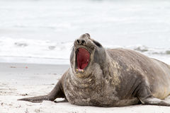 Southern elephant seal is crying around Stock Photography