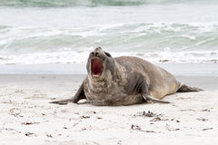 Southern elephant seal is crying around Stock Image