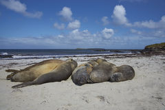 Southern Elephant Seal - Falkland Islands Royalty Free Stock Photo