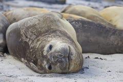Southern Elephant Seal - Falkland Islands. Group of Southern Elephant Seal Mirounga leonina on a beach on Sealion Island in the Falkland Islands Stock Photos