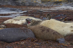 Southern Elephant Seal - Falkland Islands Royalty Free Stock Photos