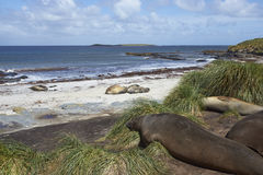 Southern Elephant Seal - Falkland Islands Royalty Free Stock Image