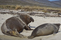 Southern Elephant Seal - Falkland Islands. Male Southern Elephant Seal Mirounga leonina accosting a female on the coast of Carcass Island in the Falkland Islands Royalty Free Stock Images