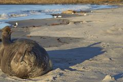 Southern Elephant Seal in the Falkland Islands. Male Southern Elephant Seal [Mirounga leonina] lying on a sandy beach on Sea Lion Island in the Falkland Islands Royalty Free Stock Photo