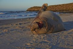 Southern Elephant Seal in the Falkland Islands. Male Southern Elephant Seal [Mirounga leonina] lying on a sandy beach on Sea Lion Island in the Falkland Islands Stock Photos