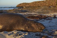 Southern Elephant Seal in the Falkland Islands. Male Southern Elephant Seal [Mirounga leonina] lying on a sandy beach on Sea Lion Island in the Falkland Islands Royalty Free Stock Photos
