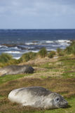 Southern Elephant Seal - Falkland Islands Stock Images
