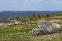 Southern Elephant Seal - Falkland Islands Stock Photos