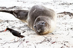 Southern elephant seal looking to an oystercatcher Royalty Free Stock Photo