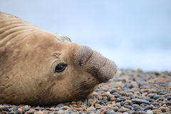 Southern elephant seal, male. Southern elephant seal, male, Valdes Peninsula, Patagonia Argentina Royalty Free Stock Photo