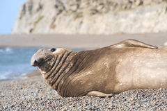 Southern elephant seal, male, Valdes Peninsula Stock Images