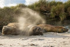 Southern elephant seal males flicking sand over themselves Royalty Free Stock Photos