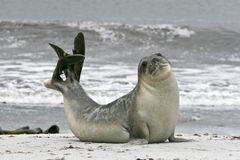 Southern elephant seal (Mirounga leonina) stock photo