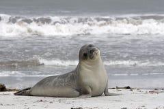 Southern elephant seal (Mirounga leonina) Royalty Free Stock Images