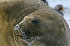 Southern elephant seal (Mirounga leonina) Royalty Free Stock Photo