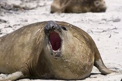Southern elephant seal (Mirounga leonina) Stock Photography
