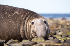 Southern Elephant Seal (Mirounga leonina) Close up. Royalty Free Stock Image