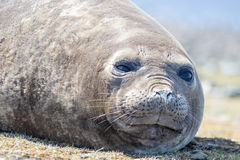 Southern Elephant Seal (Mirounga leonina) cow. Close up. Royalty Free Stock Photography