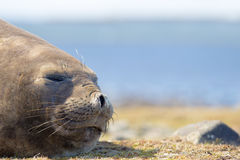 Southern Elephant Seal (Mirounga leonina) cow. Close up. Royalty Free Stock Photos