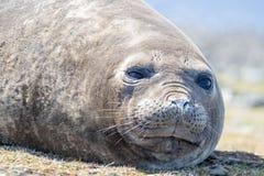 Southern Elephant Seal (Mirounga leonina) cow. CLose up. Royalty Free Stock Image