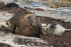 Southern Elephant Seal (Mirounga leonina). Male Southern Elephant Seal (Mirounga leonina) and pup on the coast of Carcass Island in the Falkland Islands Royalty Free Stock Image