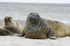 Southern elephant seal, Mirounga leonina, Stock Photos
