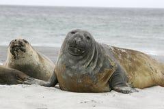 Southern elephant seal, Mirounga leonina, Stock Photos