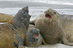 Southern elephant seal, Mirounga leonina, Stock Photography