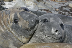 Southern elephant seal, Mirounga leonina, Royalty Free Stock Photo