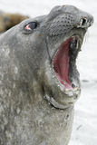 Southern elephant seal, Mirounga leonina, Royalty Free Stock Photography