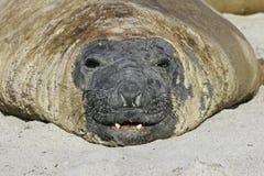 Southern elephant seal, Mirounga leonina, Royalty Free Stock Image
