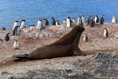 Southern elephant seal with penguins, Antarctica Stock Photography