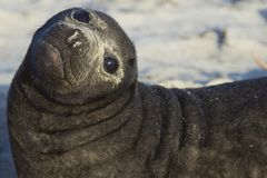Southern Elephant Seal pup in the Falkland Islands. Southern Elephant Seal pup Mirounga leonina on a sandy beach on Sea Lion Island in the Falkland Islands Stock Images