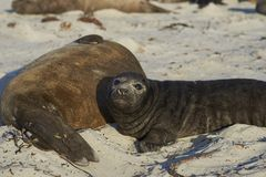 Southern Elephant Seal pup in the Falkland Islands. Southern Elephant Seal pup Mirounga leonina on a sandy beach on Sea Lion Island in the Falkland Islands Royalty Free Stock Photography
