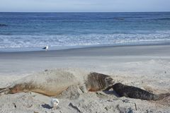 Southern Elephant Seal and pup Stock Photo